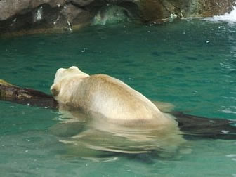 Polar Bear - Photo by Terri Shuffield (Cincinnati Zoo)