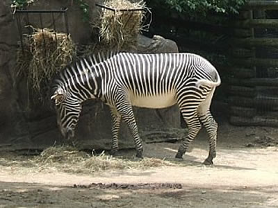 Zebra - Photo by Terri Shuffield (Cincinnati Zoo)
